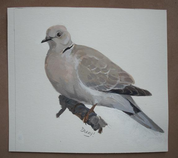 Collared Dove - tourterelle turque