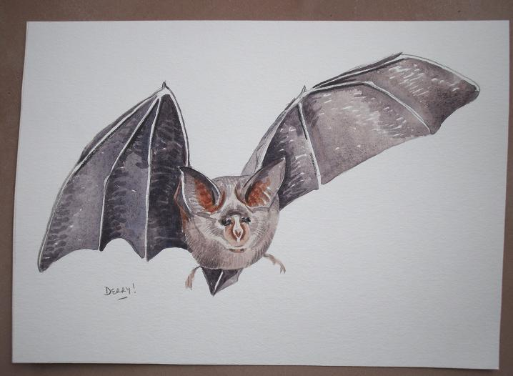 Greater Horseshoe Bat - grand rhinolophes