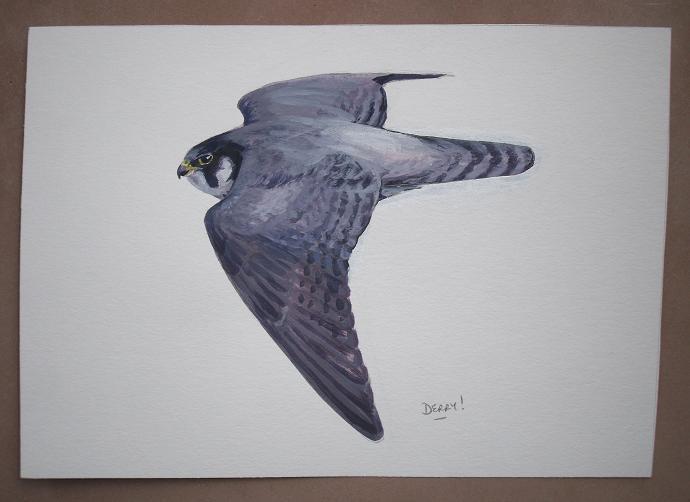 Peregrine - faucon pèlerin