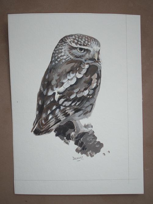 Little owl - chevêche d'Athéna
